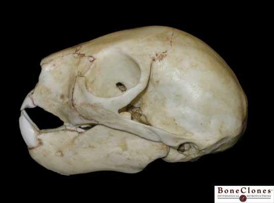 ... jaw detail of teeth detail 2 detail 3 detail 4 index of skulls